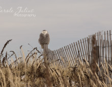 Snowy Owl at Duxbury Beach